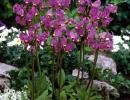 Додекатеон среди  других цветов