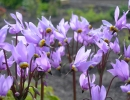 Фиолетовый додекатеон