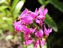 Цветы додекатеона