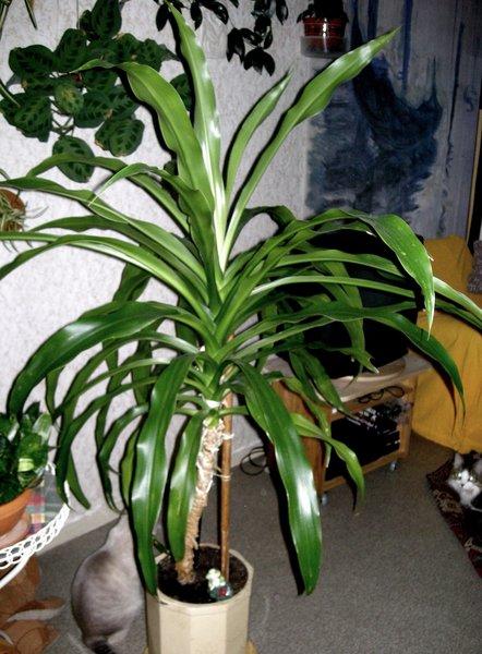 Драцена Уход в домашних условиях Болезни полив