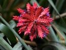 Эхмея двурядная (Aechmea distichantha)