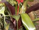 Эхмея матово-красная (Aechmea miniata)