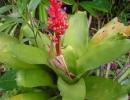 Эхмея сверкающая (Aechmea fulgens)