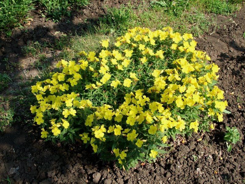 Ослинник многолетний выращивание размножение и обрезка 56