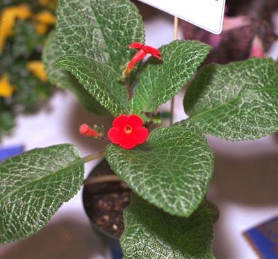 Фото комнатного растения с мелкими красными цветами