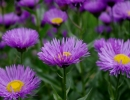 Фиолетовый эригерон