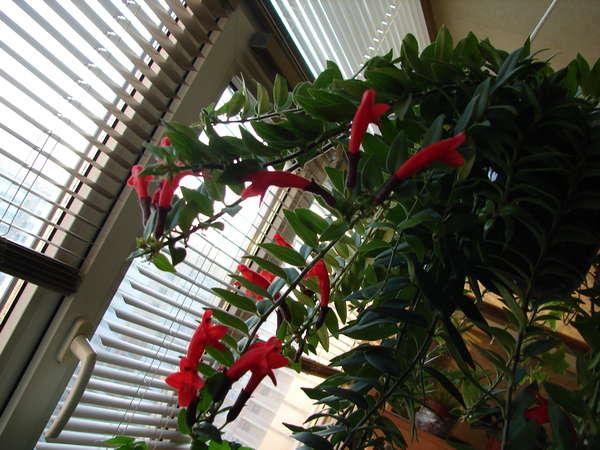 Комнатные цветы эсхинантус фото выращивание уход размножение 1