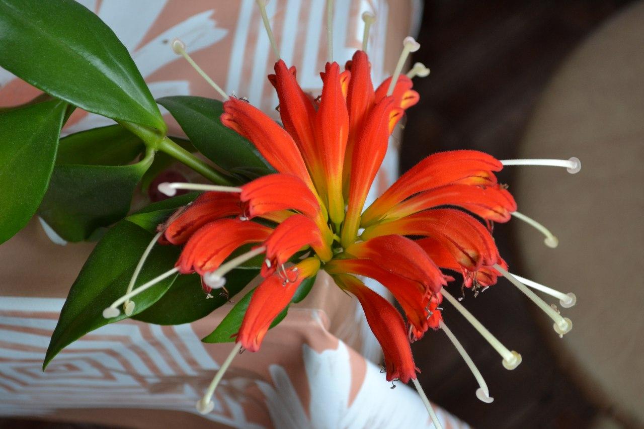 комнатный цветок эсхинантус