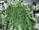 Эсхинантус твистер