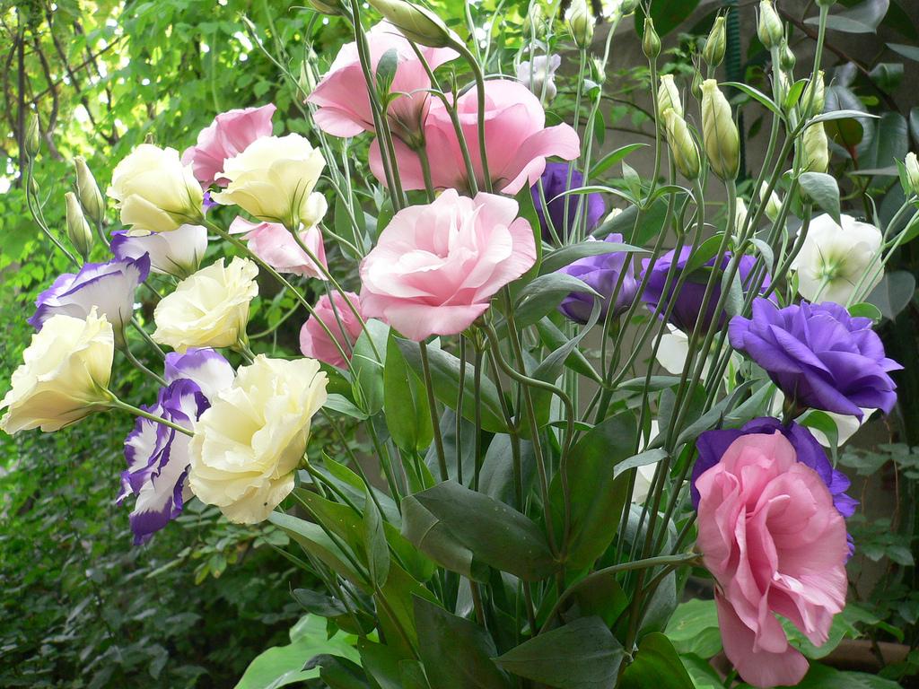 эустома комнатная выращивание и уход в домашних