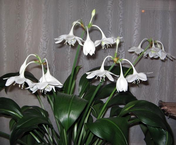 Цветок эухарис или амазонская лилия: уход, пересадка 6