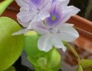 Эйхорния водяной гиацинт