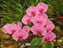 Фаленопсис Розовый цвете очень красиво