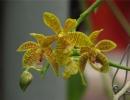 Орхидея Фаленопсис Люддеманна