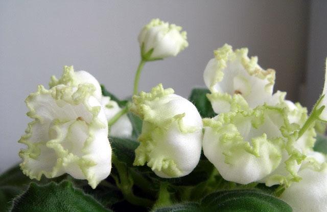 Комнатные цветы с колокольчиками 118