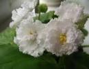 Фиалка Сахарная роза
