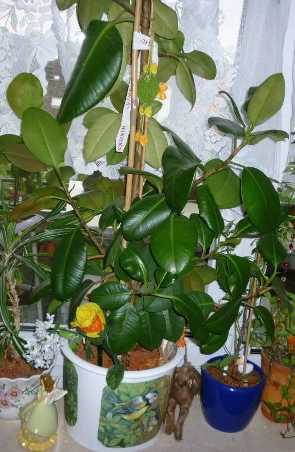 Как цветет фикус в домашних условиях 975