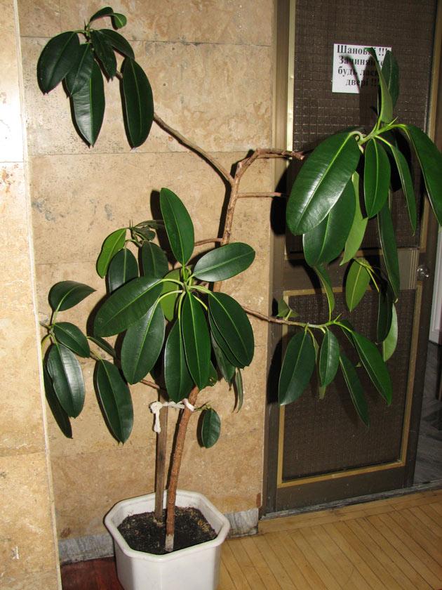 Фото фикуса каучуконосный размножение в домашних условиях