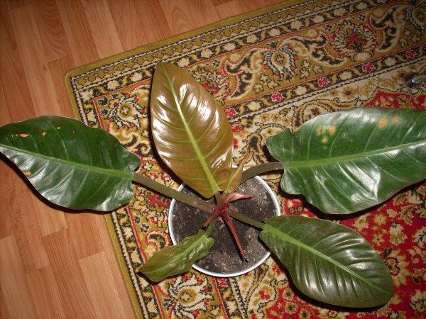 филодендрон лазящий фото уход в домашних условиях