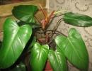 Филодендрон краснеющий