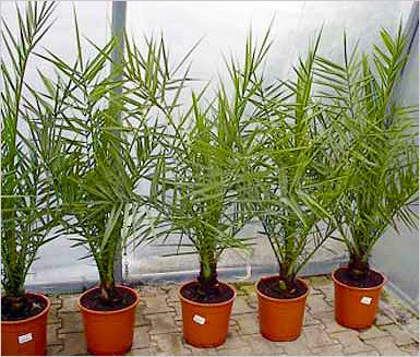 Фото пальмы из финиковой косточки в домашних условиях
