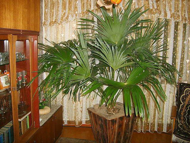 Домашняя пальма уход в домашних условиях фото 94