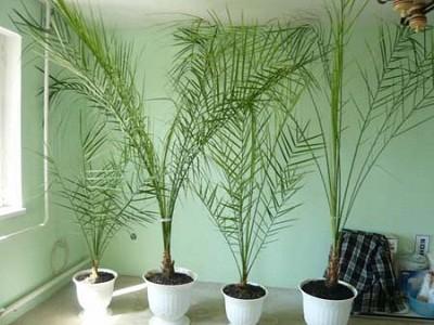 Домашняя пальма уход в домашних условиях фото 54
