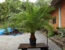 Пересадка пальмы в домашних условиях