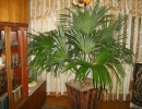 Финиковая пальма в квартире