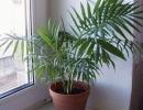 Финиковая пальма на подоконнике