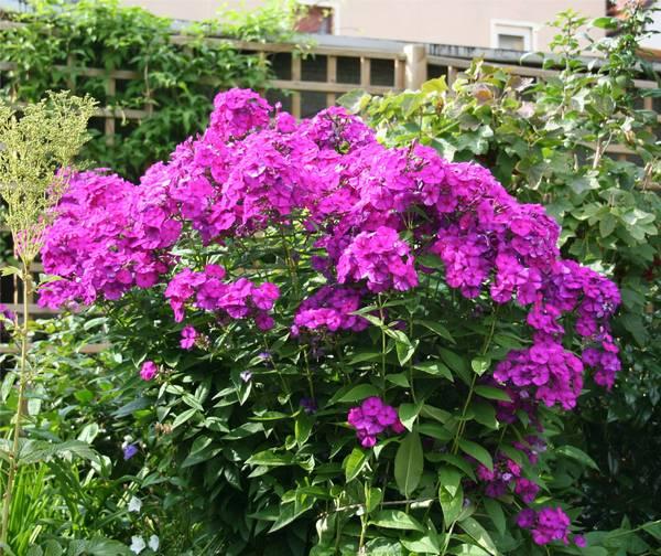 флоксы многолетние фото цветов