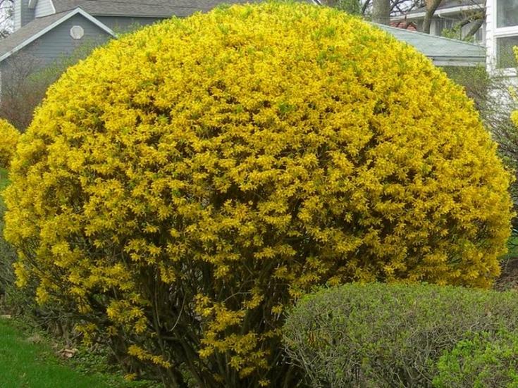 цветок форзиция