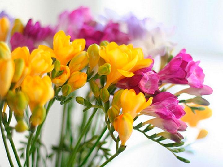 Фрезия цвет