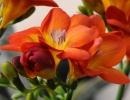 Цветок фрезия фото