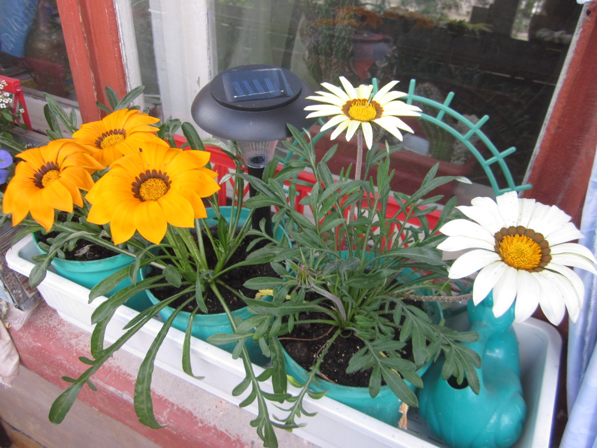 Гацания выращивание из семян в домашних условиях фото