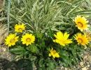 Гацания — садовый цветок
