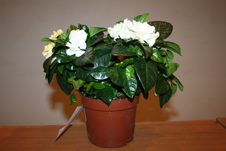Комнатные цветы фото названия и уход за ними жасмин