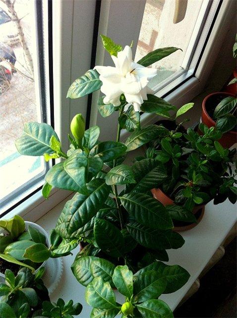 Гардения выращивание в домашних условиях 717