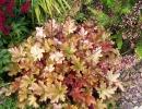 Гейхера среди других растений