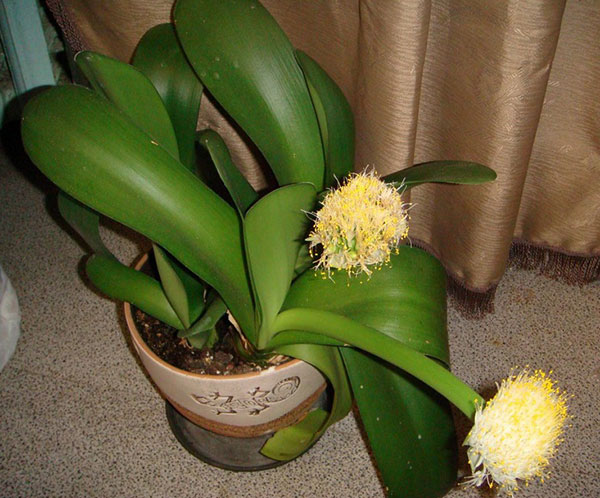 Цветок с листьями как у ландыша