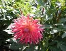 Садовые цветы георгины