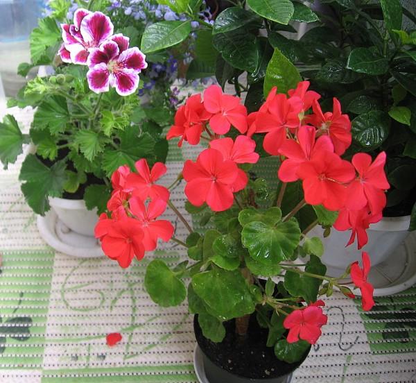 цветы герань посадка и уход в домашних условиях