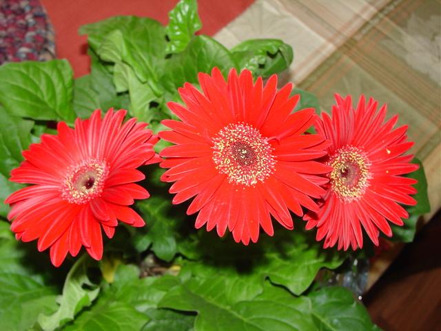 Цветы комнатные  гербера