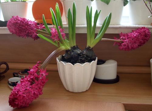 Цветок с приятным запахом фото