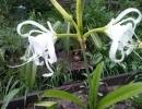 Гименокаллис широколистный
