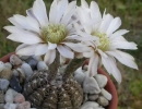 Фото. Кактус гимнокалициум
