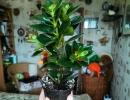 Фото. Гипоцирта монетная цветок