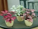 Растение Гипоэстес