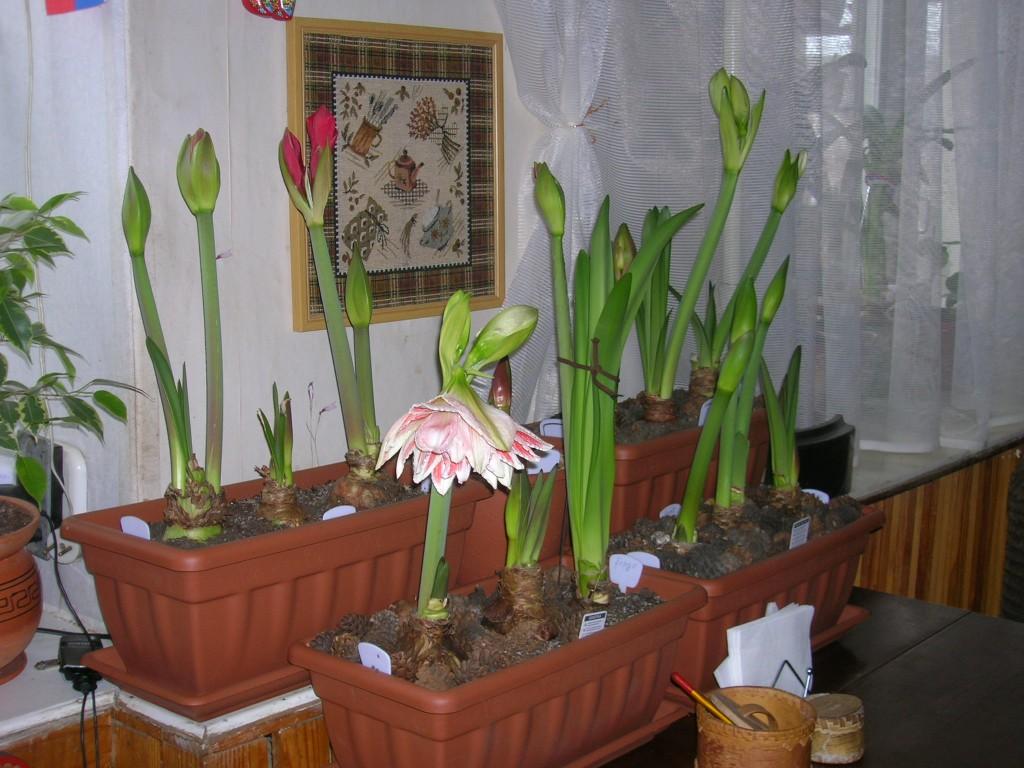 Гиппеаструм цветение в домашних условиях