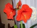 Гиппеаструм красный